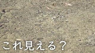 衝撃砂浜に潜む絶滅危惧種を大量に発見!