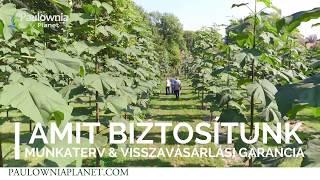 Pár érdekesség a Cotevisa 2 (speciális kínai császárfa hibrid) ültetvényekről