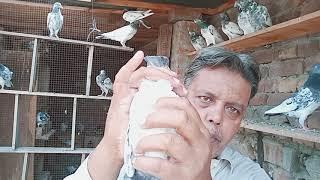 Pigeons... kabootar ki haddi jore 17 September 2019