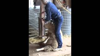 Professional Large Flock Shearing Demonstrated and Narrated by Ivan Kaden, Professional Shearer.