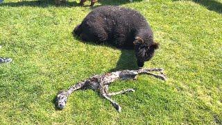 Alpaca Gives Birth to Strange Baby