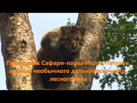 Кормление дальневосточного кота на дереве - Приморский Сафари Парк