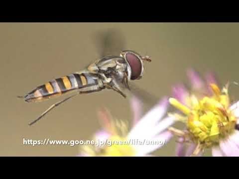 Haltere of Hoverfly ヒラタアブの平均棍の動き