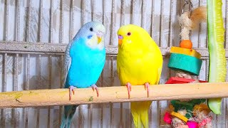 Cute Pet Budgies Chirping, 3.5 Hr Nature Parakeets Bird Sound to Reduce Stress