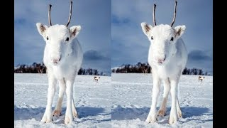 Updrafts & Downdrafts Crops Cant Handle the Albino Reindeer (762)