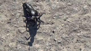 Большой черный жук и видео про жуков