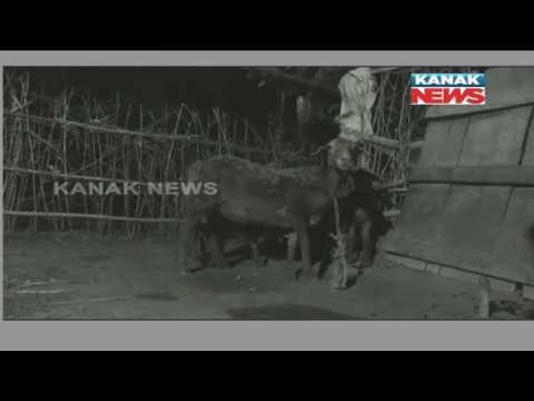 Miscreants Butchering Sheeps In Night In Niali