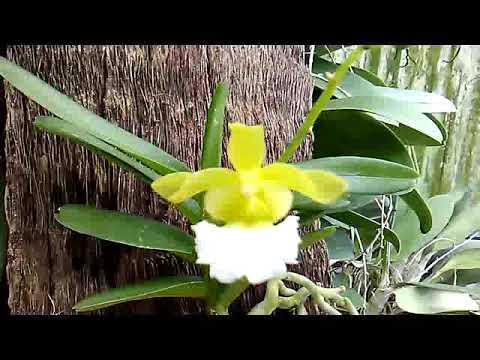Vanda species yang cute dari Vietnam - Christensonia vietnamica