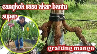 How to... grafting mango trees ... with the roots of trees