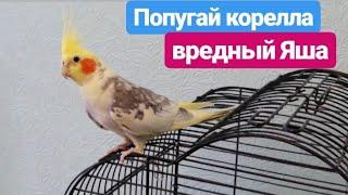 Попугай корелла, наш Яша. Красивый, но вредный попугайчик. Parrot Corella, our Yasha.