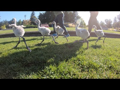 Baby Flamingos Run Riot in the Zoo