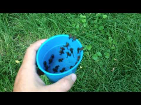 Tons Of Toads! Hundreds Of Toads (Toadlets) In Our Yard!  Illinois Herps! Mp3
