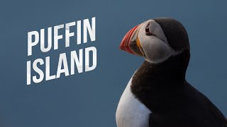 PUFFIN ISLAND. The Cutest Birds Alive, Cinematic Norwegian Wildlife.