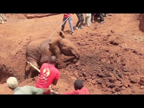 African elephant rescued from well