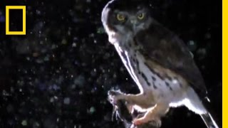 Owlet vs. Hawk Moth | National Geographic thumbnail