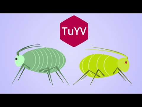 TuYV - How the virus spreads