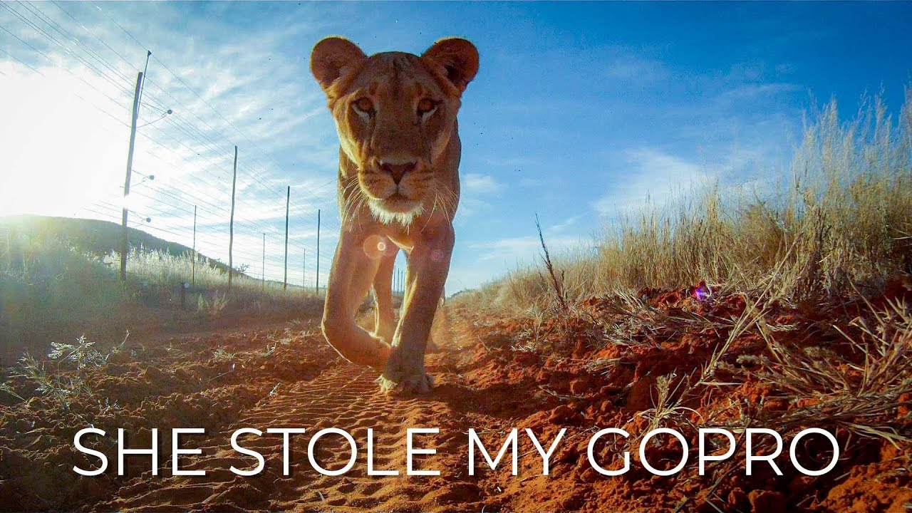 Lion Steals And Chomps On GoPro While Filming