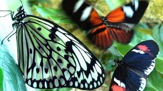 Butterflies Flying in Slow Motion HD - Houston Butterfly Museum