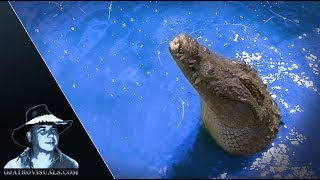 Nile Crocodiles In Florida Footage 01