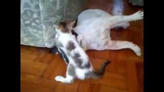 Забавный котенок массаж Французский бульдог
