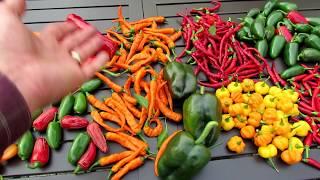 Harvesting 8 Varieties of Hot Peppers: Tips, Great Container Varieties & Seed Saving