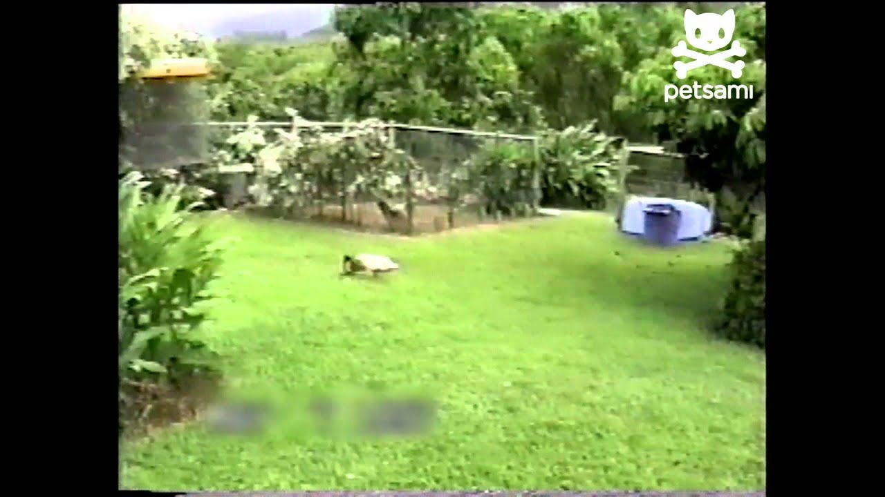 This Duck Can Play Fetch Like A Dog