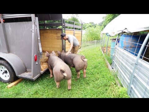 , title : 'Will we GET PIGS again? (First time Pig Owners Raise Bacon) VLOG