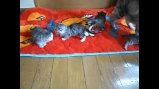 マンチカン・子猫販売(北海道・札幌)