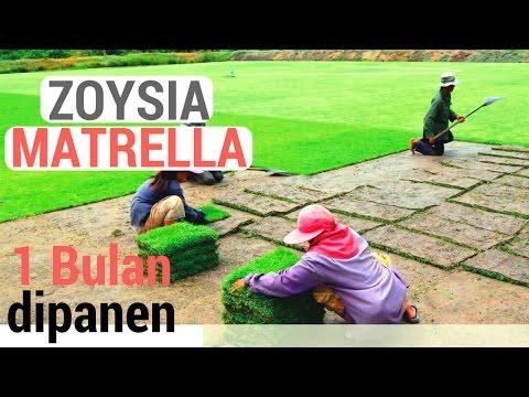 Video Poses Penanaman Rumput Manila (Zoysia matrella) yang Hanya 1 Bulan Siap Panen