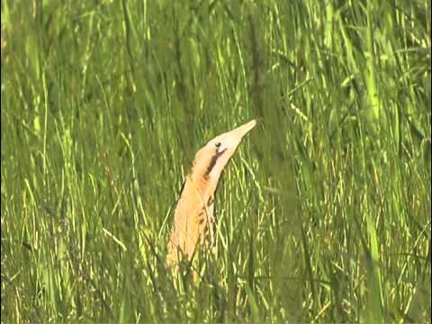 Birds of the Broads – Bittern