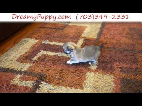 Pretty Little Teacup Pekingese Female Puppy