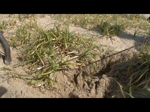 NJTV: Asiatic sand sedge plant invades shore beach dunes