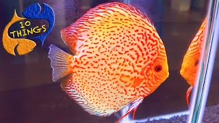 Top 10 Things About Discus! Anyone Buying Discus Should Watch This. New Series From KGTropicals