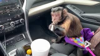 animale maimuta bea suc