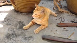 preview picture of video 'Orange Tabby Cat on New Year's Day 2014 (1)'