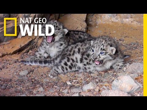 Endangered Snow Leopard Cubs Spotted in the Wild | Nat Geo Wild