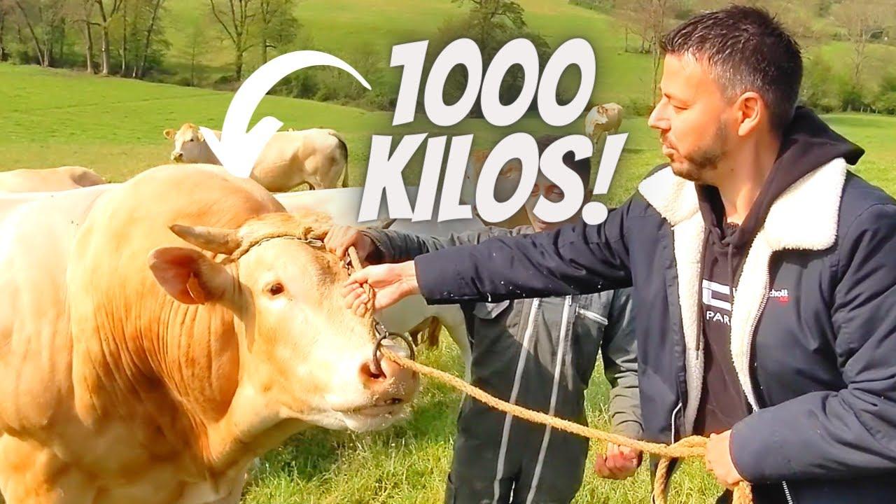 Ce TAUREAU me fait FLIPPER ! J'aide un éleveur de BOVINS !