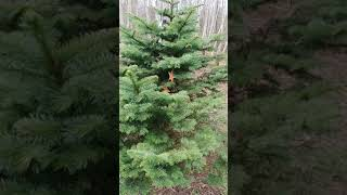 Once Dead Christmas Tree finds life by Wil Russoul