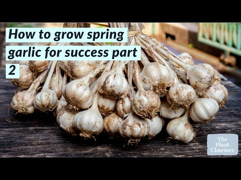 , title : 'How to grow spring garlic for success part 2