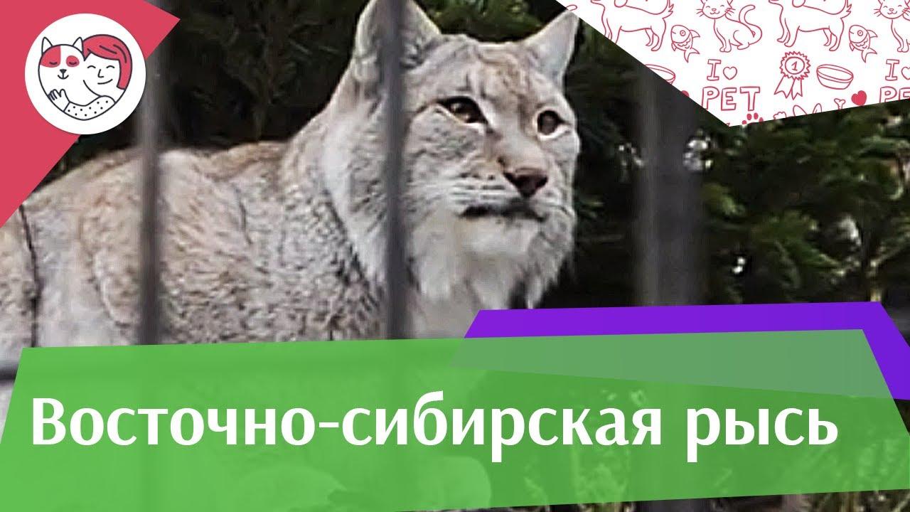 Восточно сибирская рысь Питание на ilikepet