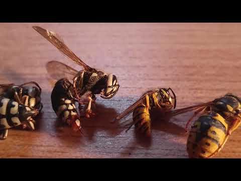 Wasp Species Comparison yellow jackets Hornets Cicada Killers