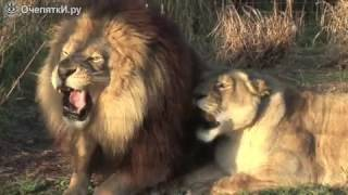 Голоса диких котят