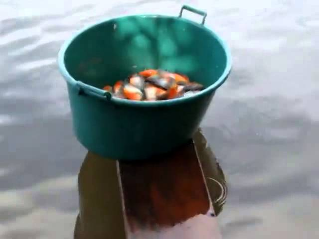 Fishing For Piranha In Brazil Using Raw Mea