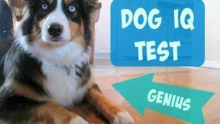 Testing My Australian Shepherd's Intelligence   Dog IQ Test