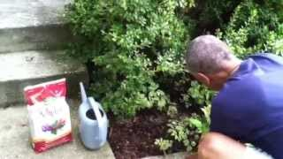 How to Fertilize Azaleas! #howtofertilize