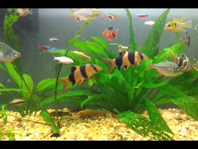 Tropical Freshwater Aquarium / Acuario (pecera) de Peces Tropicales de Agua Dulce - 29 galones