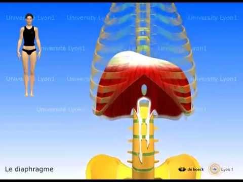 Comment correctement balancer les muscles pectoraux dans les conditions domestiques à la jeune fille