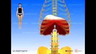 A regarder pour mieux comprendre :          2 vidéos d'anatomie... diaphragme et psoas-iliaque