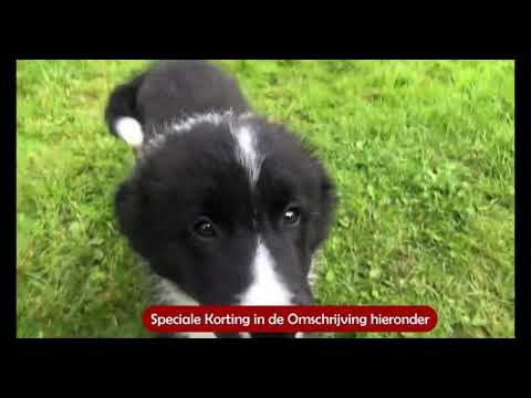 Download Border Collie Opvoeden Mp4 HD Video and MP3