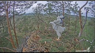 Latvia Golden Eagles ~ Klints Standing Tall, Taking Steps & Flapping! Attempts Self Feeding! 6.11.10